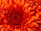 Orange chrysantemum